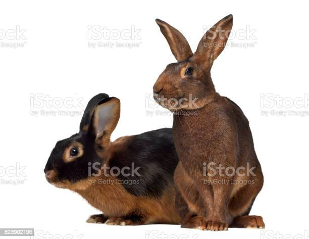 Black fire rabbit and belgian hare isolated on white picture id823902196?b=1&k=6&m=823902196&s=612x612&h=hxxiubvvgipml9jxhhpiuup5vx1o3otq riqa 4wdoa=