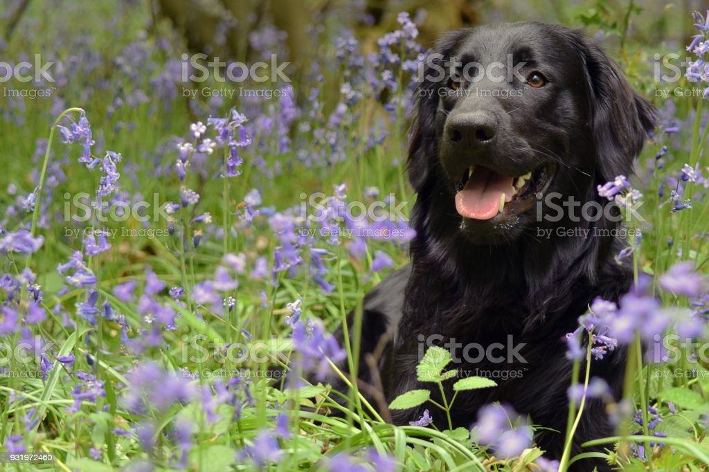 Black Flat Coated Retriever Dog In BlueBells stock photo