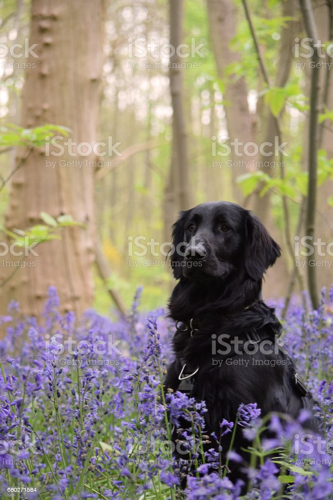 Black Flat Coated Retriever Dog Portrait In BlueBells stock photo