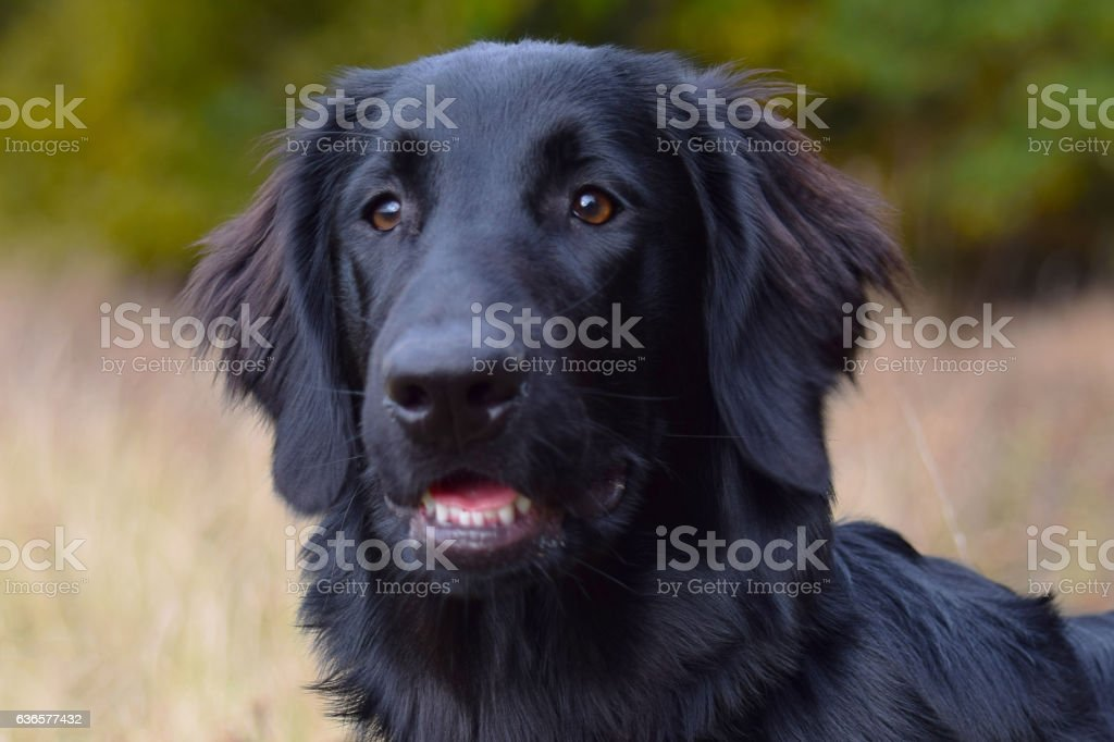 Black Flat Coated Retriever Dog Portrait stock photo