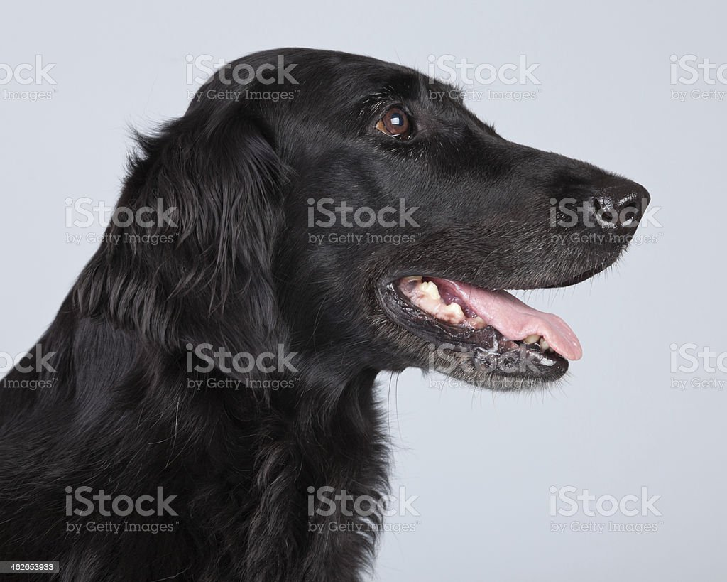 Black flatcoated retriever dog isolated against grey background. stock photo