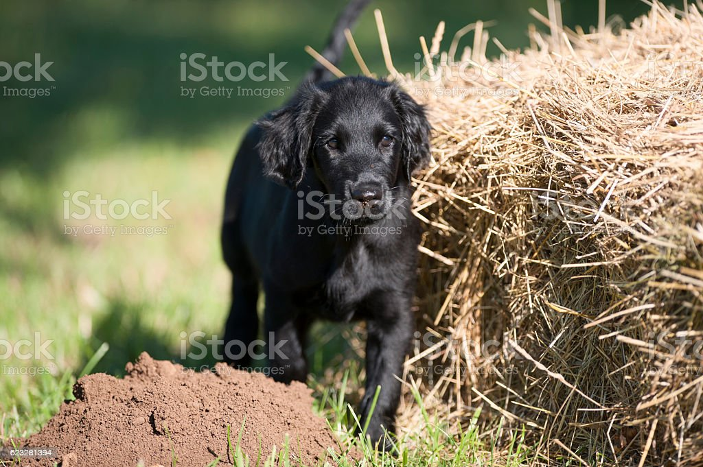 Black flatcoated retriever puppy stock photo