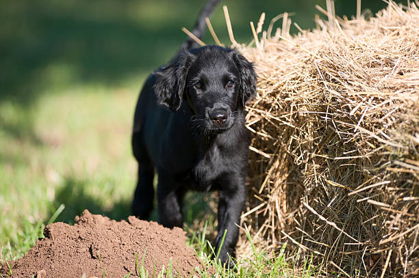 Black flatcoated retriever puppy stock photo