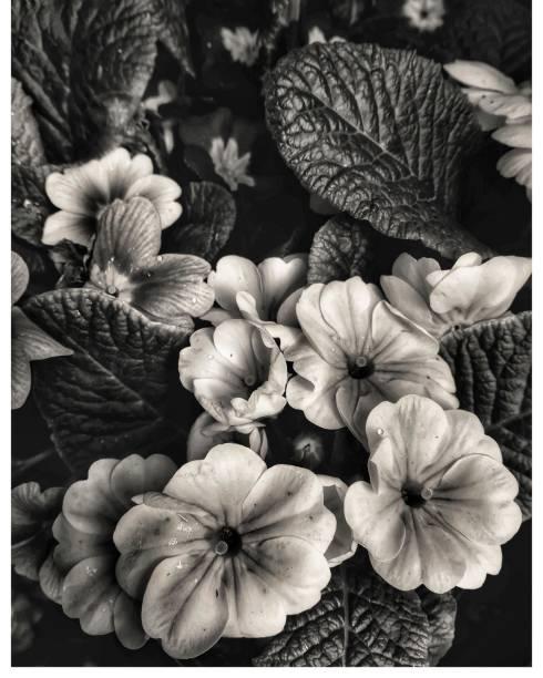 Flores negras, plantas. - foto de stock