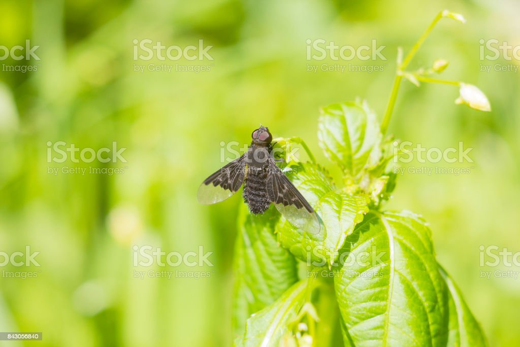 Black fly Hemipenthes morio on plant stock photo