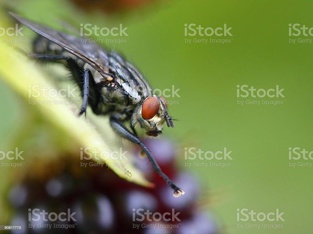 black fly macro royalty-free stock photo