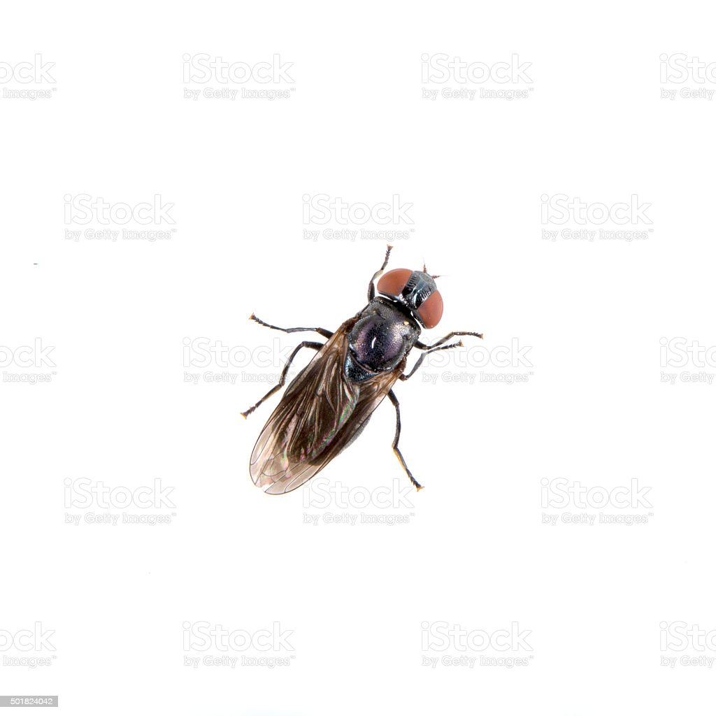 Black fly on a white background stock photo
