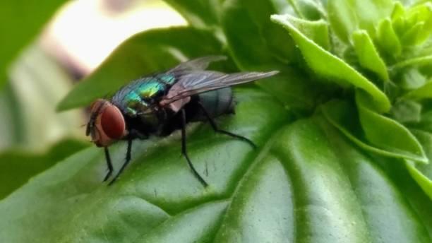 Black Fly on Basil Leaf stock photo