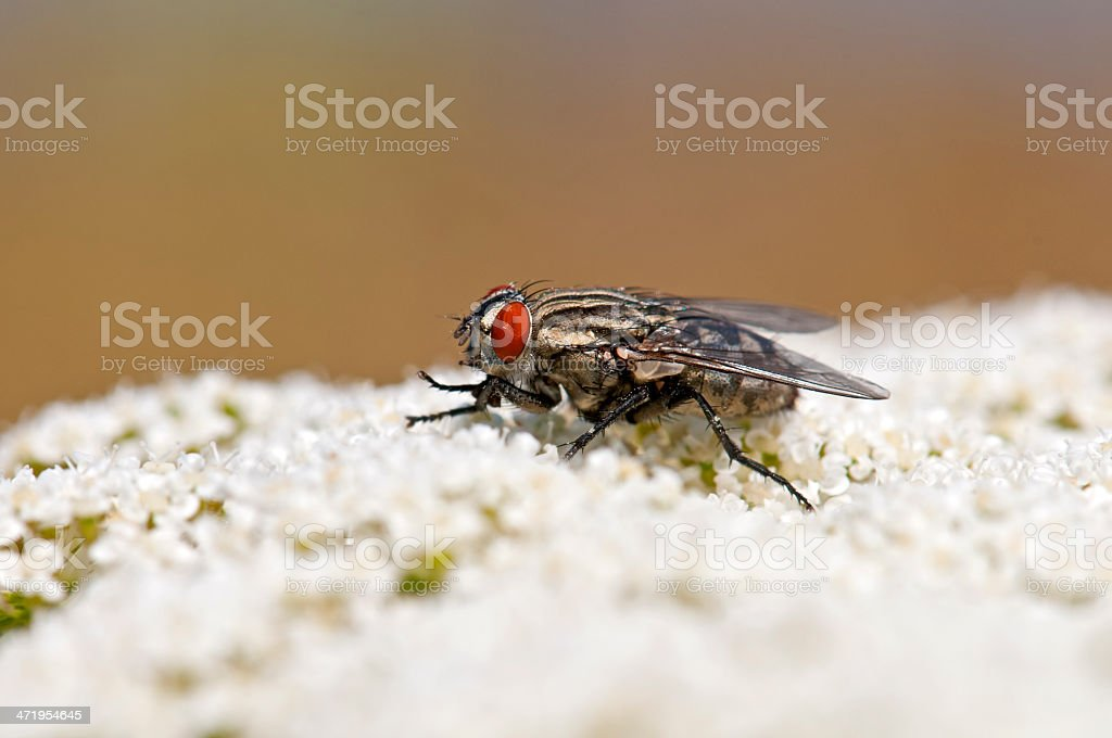 Black Fly on flower stock photo
