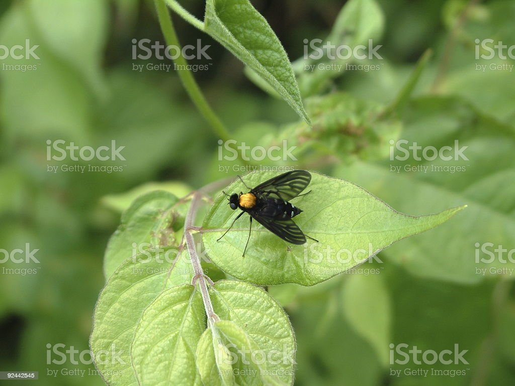 Black Fly On Leaf royalty-free stock photo