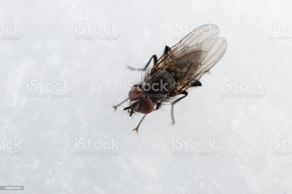 black fly on snow stock photo