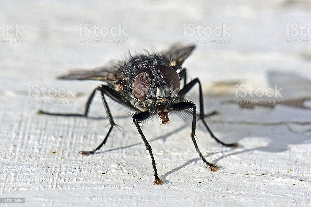 Black Fly stock photo
