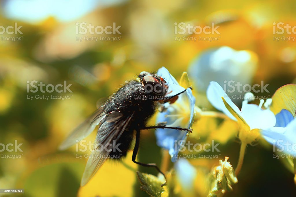 Black fly royalty-free stock photo