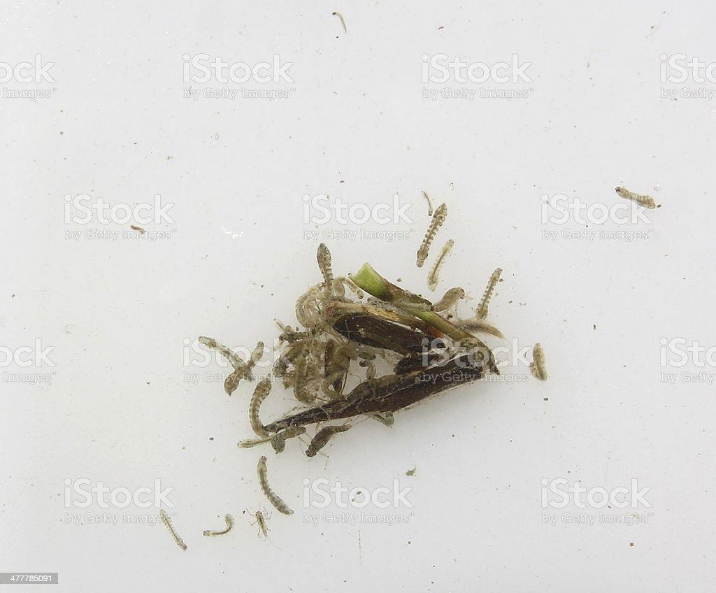 black fly royalty-free stock photo