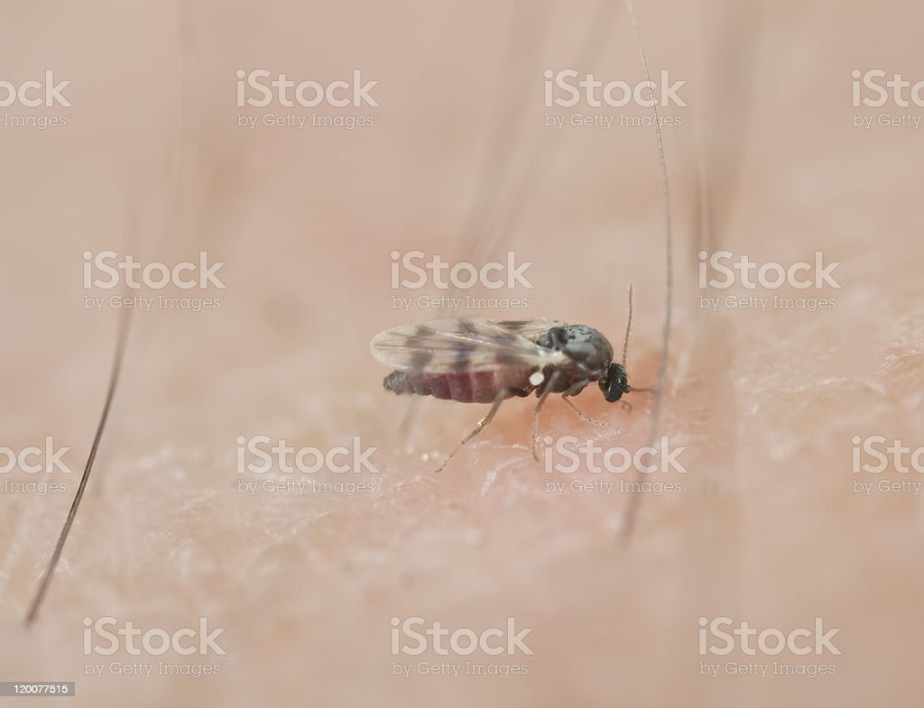 Black fly sucking blood on human arm stock photo