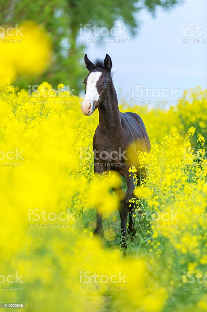 Black foal in the field of blooming raps. – Foto