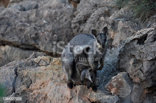 Horizontal image. Also known as the black-footed rock-wallaby. Yardie Creek, Western Australia. July 2020.
