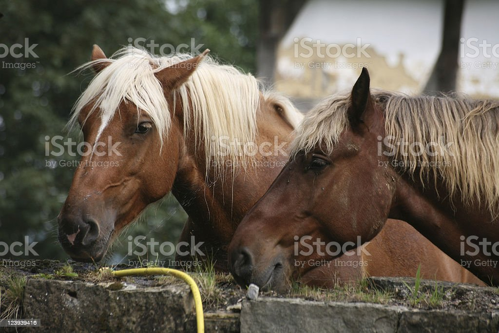 Black Forest Horses stock photo