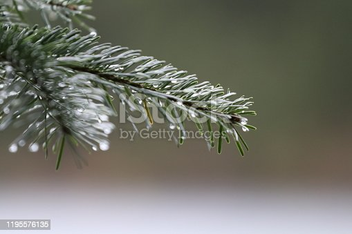Raindrops on a fir branch in the wilderness of national park Black Forest