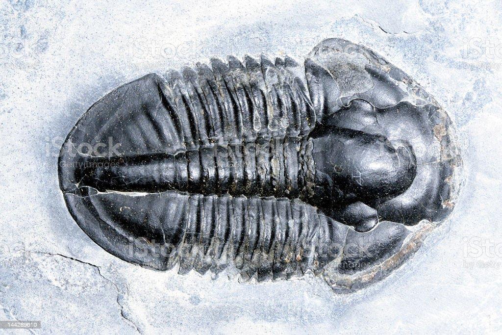 Black fossil trilobite on white snow stock photo