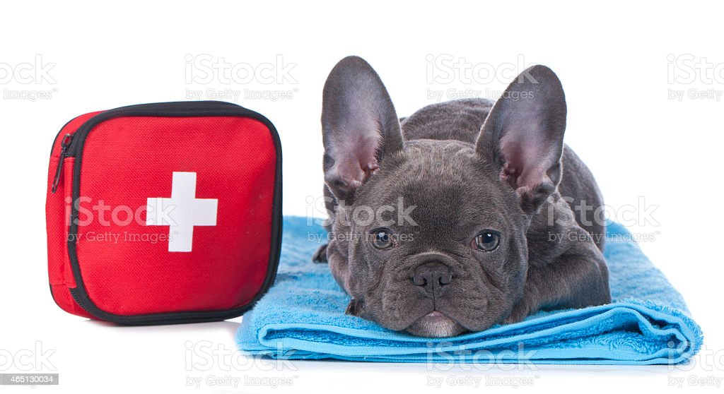 Black French bulldog laying down with first aid kit royalty-free stock photo