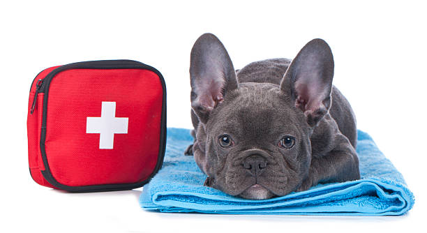 Black French bulldog laying down with first aid kit French bulldog with first aid kit isolated emergency sign stock pictures, royalty-free photos & images