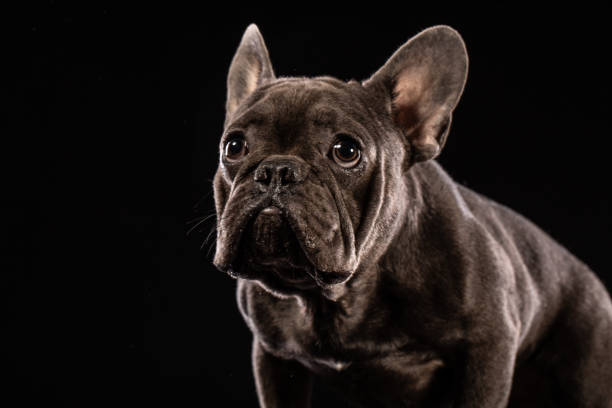 Black french bulldog on black background picture id974938896?b=1&k=6&m=974938896&s=612x612&w=0&h=oy838swp3wy1dmg wa8egtpquxukmaa lj coyhfdoc=