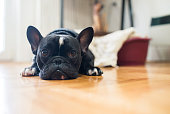 Close up shot of a cute sad looking little dog, black French bulldog.