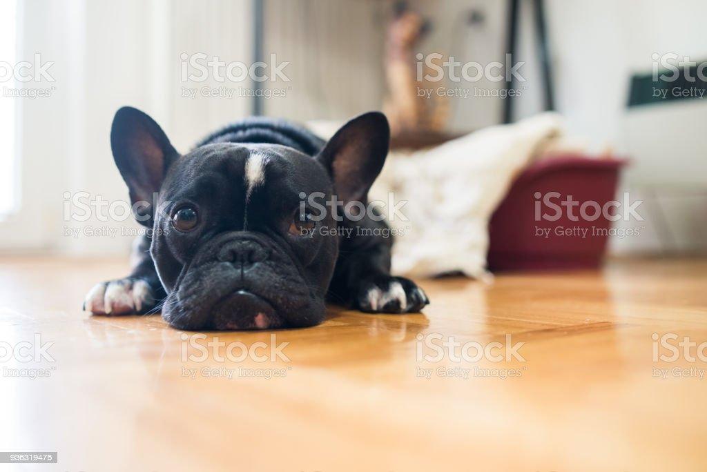 Black French Bulldog stock photo