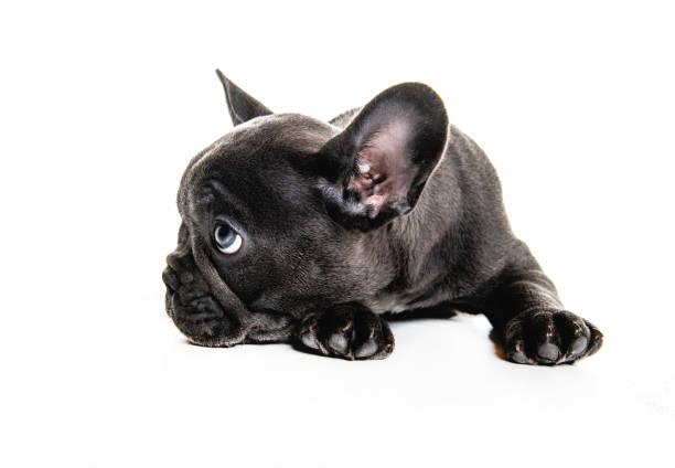 Black French bulldog puppy over a white background stock photo