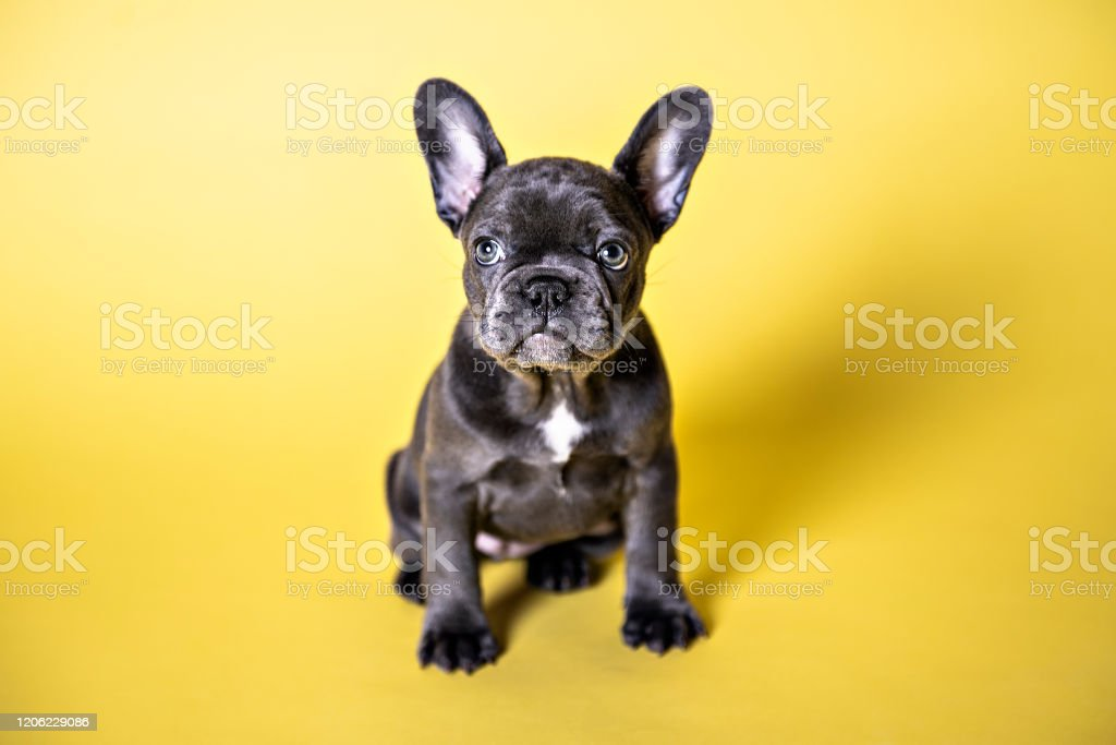 Black French Bulldog Puppy Over A Yellow Background Stock Photo Download Image Now Istock
