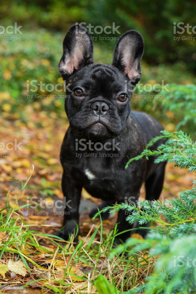 Black French Bulldog Puppy Stock Photo Download Image Now Istock