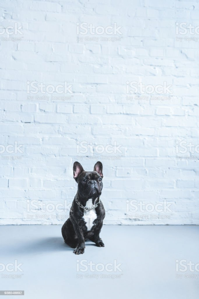 Black Frenchie dog sitting on the floor by white wall stock photo