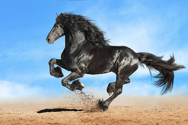 Black Frieasian Horse Runs Gallop In Freedom Stock Photo
