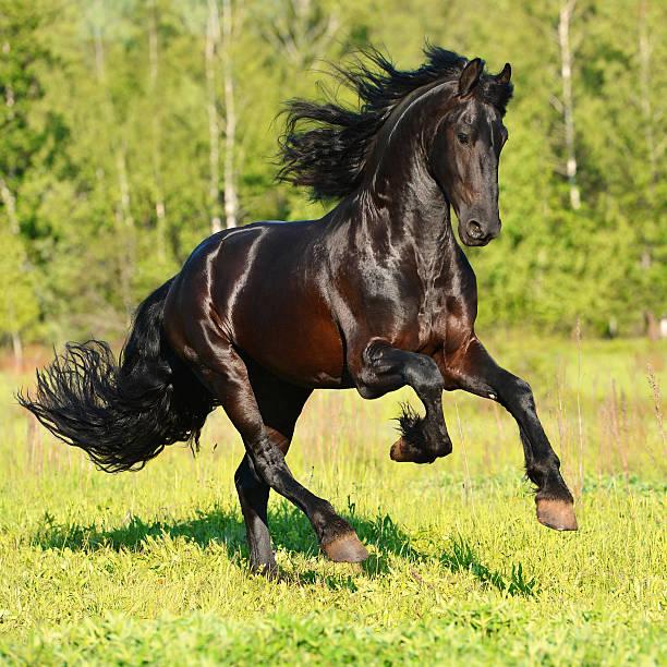 Czarny Koń biegnie Frieasian Cwałujemy w wolności – zdjęcie