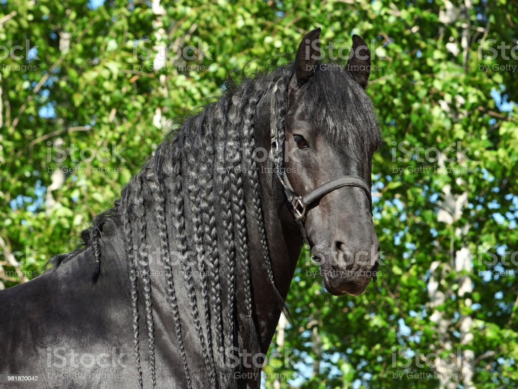 Black Friesian Draft Horse Stock Photo Download Image Now Istock