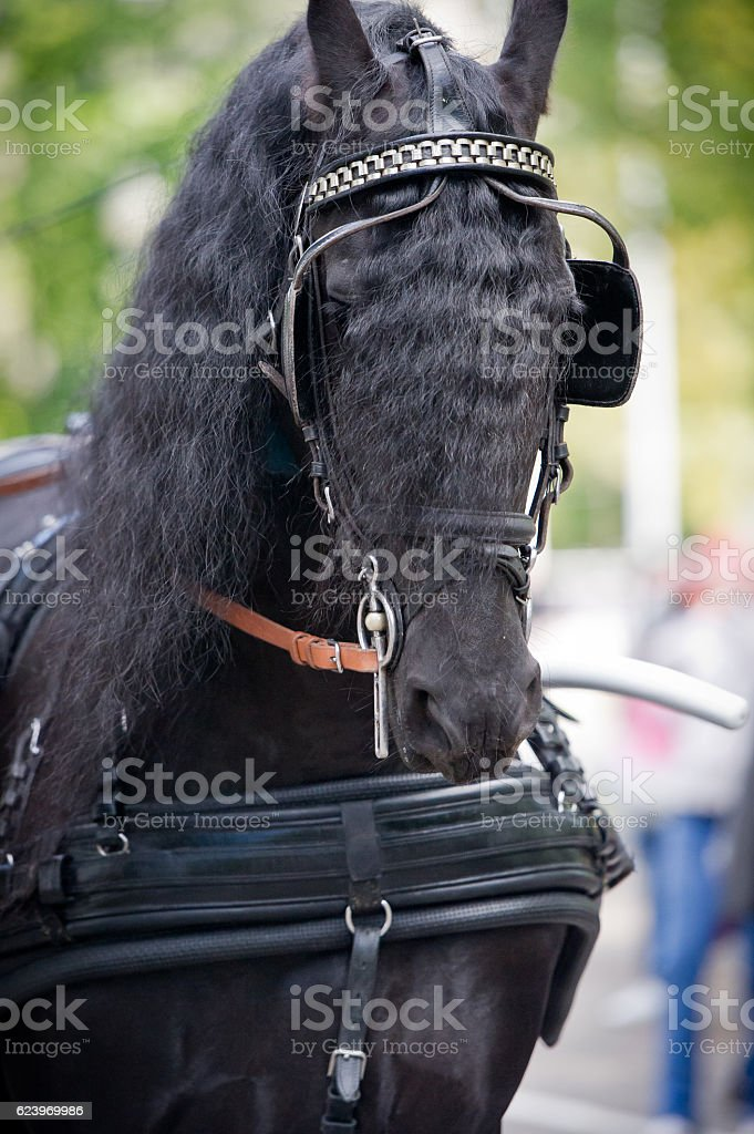 Black friesian horse carriage driving harness outdoor stock photo