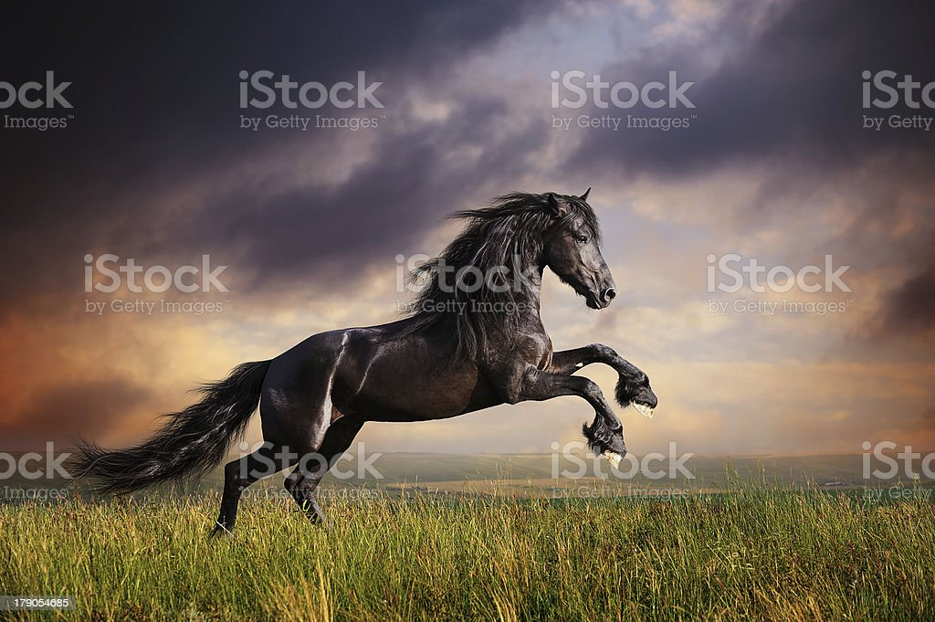 Black Friesian horse Galopp – Foto