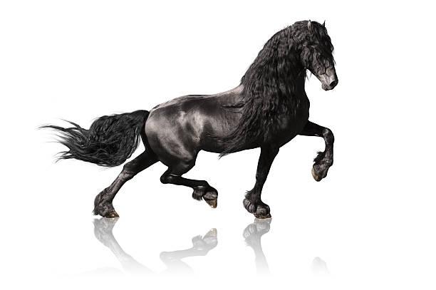 black friesian horse isoalated on white stock photo