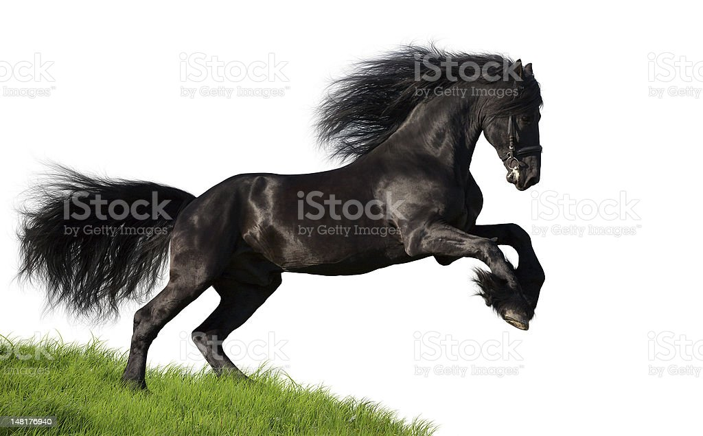 Black Friesian horse isolated on white background stock photo