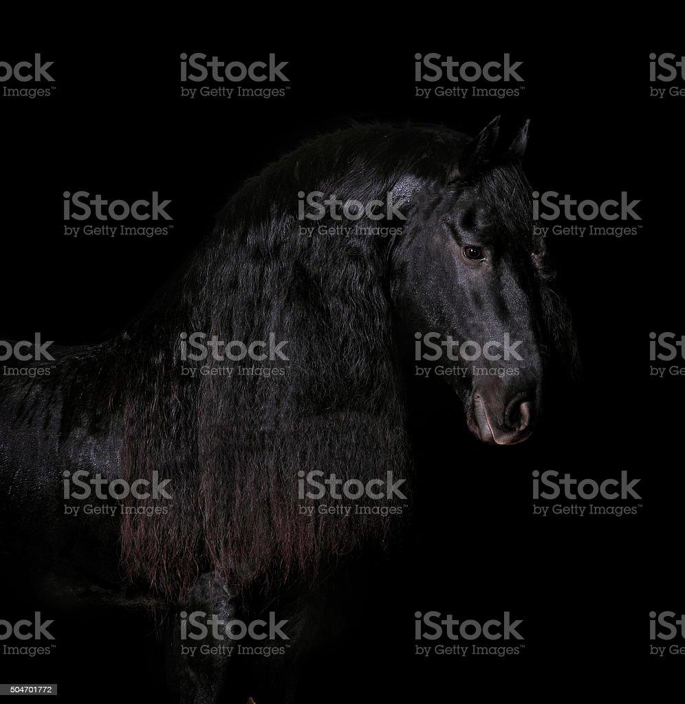 black friesian horse portrait on black stock photo