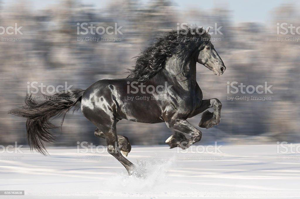 Black Friesian horse runs gallop on blurred winter background stock photo