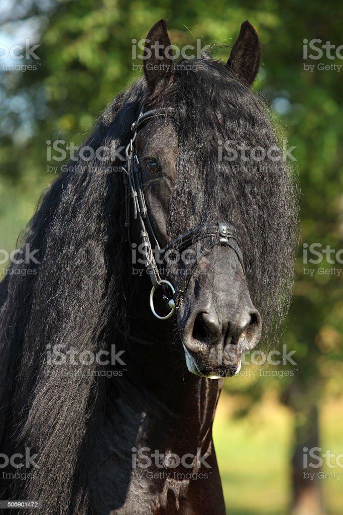 Black Friesian horse stallion portrait in summer stock photo