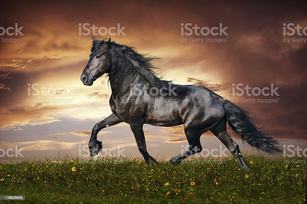 Black Friesian horse trot stock photo