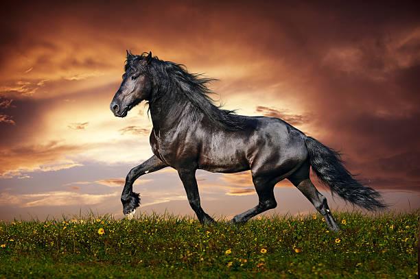 Czarny Koń trot fryzyjska – zdjęcie