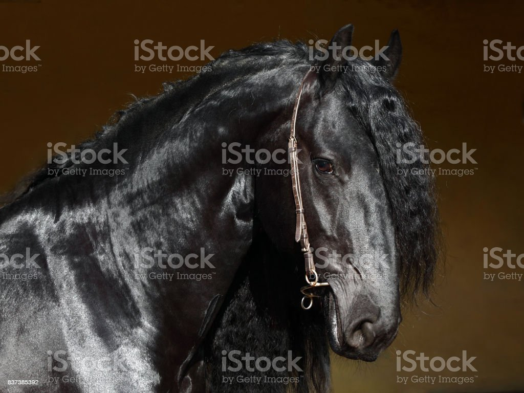Black friesian horse with classical bridle, low key portrait at black background stock photo