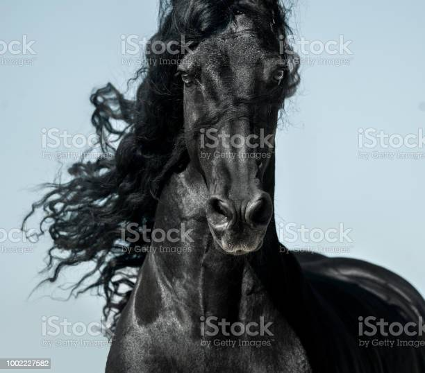 Black friesian horse with long mane face view closeup in movement picture id1002227582?b=1&k=6&m=1002227582&s=612x612&h=mkewvb 5v41nhs e6ed9clz1vhkm1a gbrwzpaiuo9q=