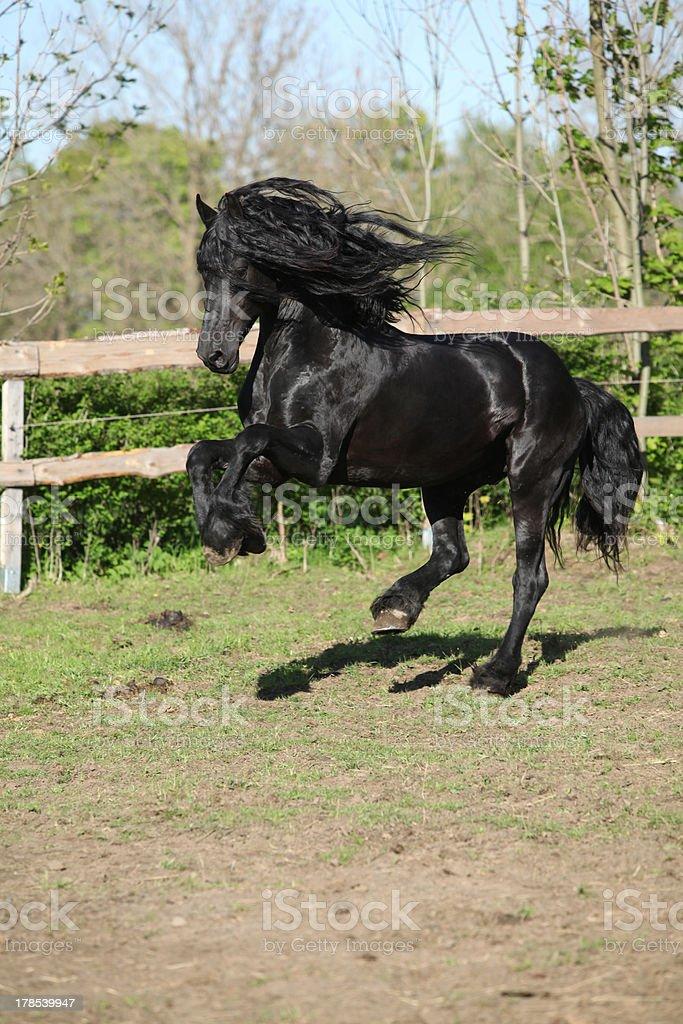 Black friesian stallion stock photo