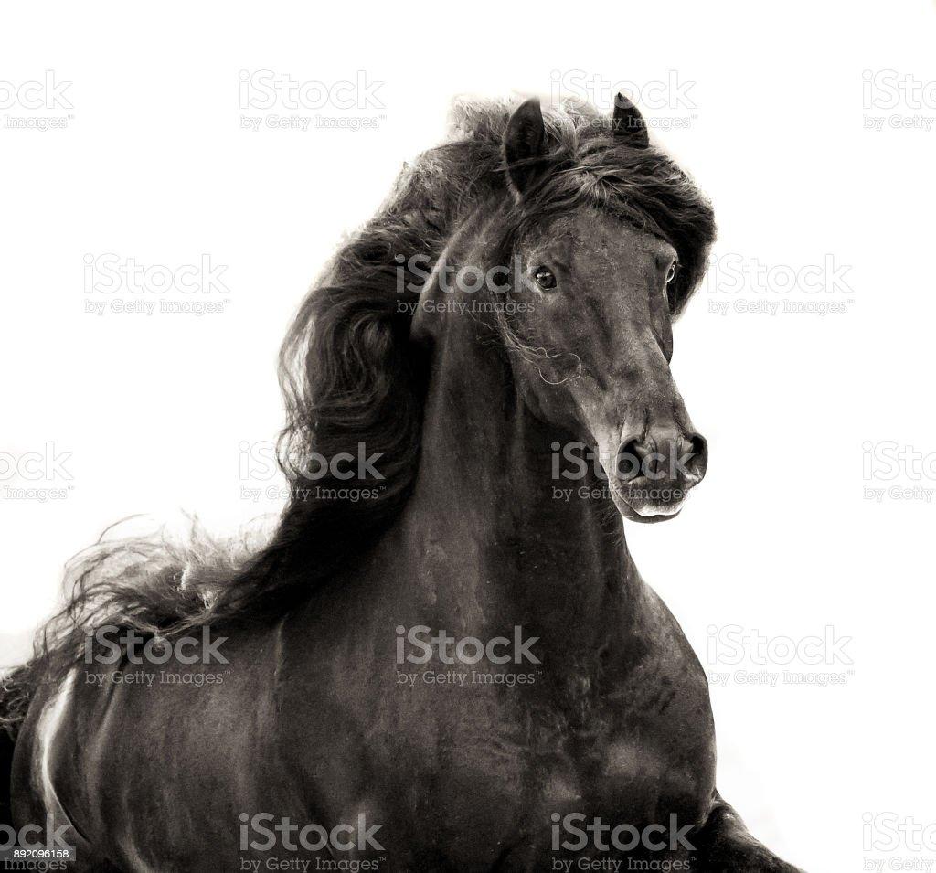 black friesian stallion with long mane portrait on white background in sepia stock photo