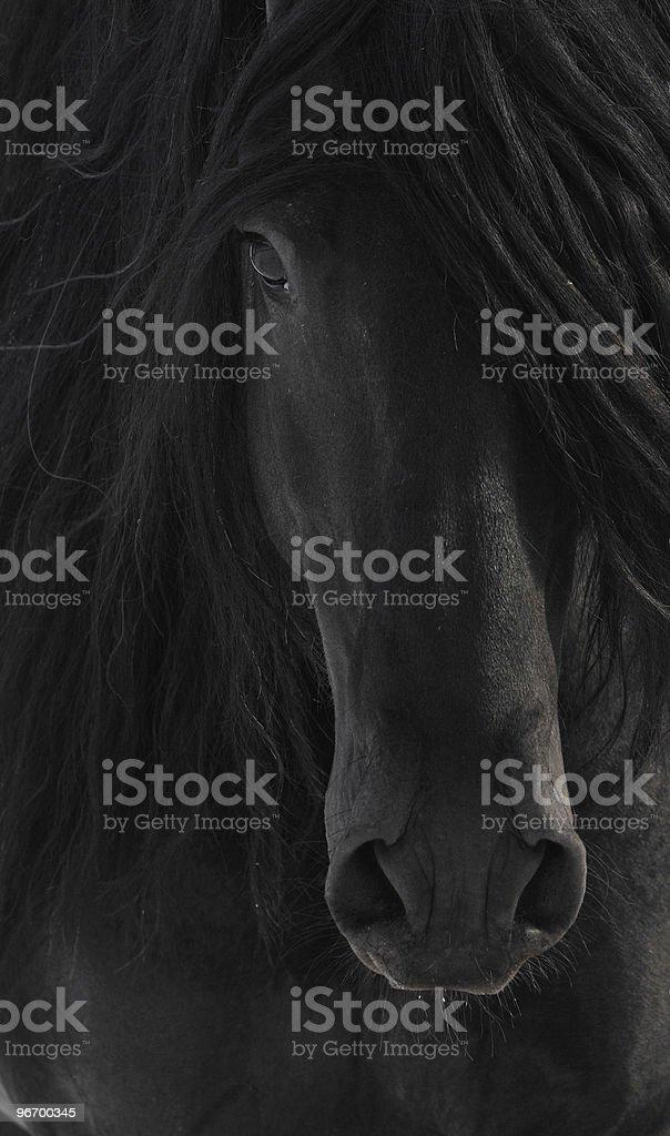 Black Frisian Horse Portrait close up stock photo
